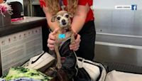Pet chihuahua almost becomes stowaway after sneaking into luggage