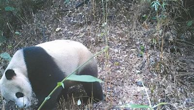 守護大熊貓家園 他們下「足」功夫