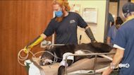 Brody the bear checks into the hospital