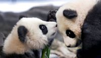Berlin zoo's panda twins take their 1st public tumbles