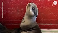 Adorable baby seal rescued from parking garage by California firefighters then takes a nap