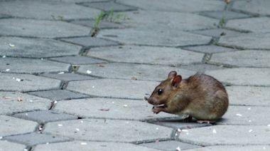 Nassau County Rat Problem In Crosshairs For Lawmaker