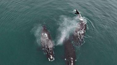 瀕危鯨魚的罕見「抱抱」行為 - 國家地理雜誌中文網