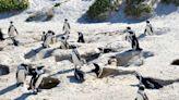 南非瀕危「黑腳企鵝」集體暴斃!凶手竟是這種昆蟲