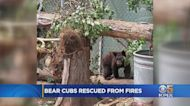 Cubs Orphaned In Caldor Fire Get Special Care At Sonoma Co. Wildlife Refuge