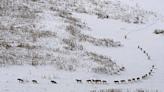 【部分錯誤】網傳圖片宣稱「狼的組織能力...這是加拿大北部伍德布法羅國家公園裡一個典型的狼群...第一梯隊是三頭老狼、病狼,走在最前面...」?