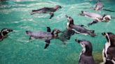 Penguins missing visitors, say keepers, at locked-down Thai Zoo