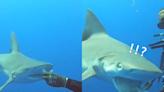 鯊魚吃肉竟「漏掉兩次」 網笑:威嚴都沒了!