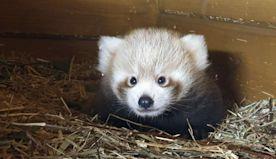 Red panda born in Berlin as part of global breeding program
