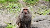 【有片】台灣獼猴「榮哥」高齡26歲離世 留下快樂回憶 | 蕃新聞