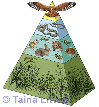 Grasslands Ecosystem Food Pyramid - Illustration@Science-Art.Com