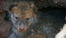 1st Mexican gray wolf litter born at Phoenix Zoo in 20 years
