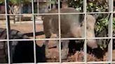 Cinghiali uccisi a Roma, Raggi chiede inchiesta