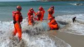 悲!柏氏中喙鯨身多傷擱淺 海巡署即時搶救仍不幸死亡