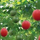 綠意盎然木鱉果種子10入