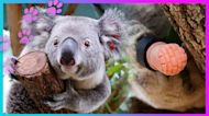 Prosthetic Gives Wounded Koala The Gift Of Mobility