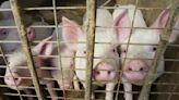 中國養豬大亨被判重刑 北京似在向億萬富翁們發出警告