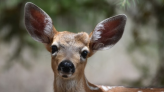 PA Among Worst States For Deer Collisions And It's Peak Season