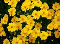 Does Coreopsis Need Deadheading: How To Deadhead Coreopsis ...