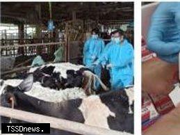 苗栗縣牛隻牛結節疹疫苗緊急注射 未發現相關症狀