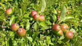 蘇格蘭離島謎之孤獨蘋果樹,植物學家:罕見原生純種,可能從冰河時期存活至今 - The News Lens 關鍵評論網
