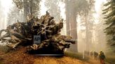 Up to 10K California trees to be removed; road to large sequoias closed