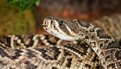 Nearly 90 rattlesnakes found underneath California home: A 'total snakemare'