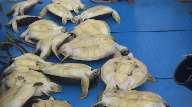 Indonesian officials release 23 smuggled green sea turtles in Sulawesi