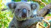 無尾熊百種尤加利樹「只吃50種」 保育員靠視覺快速辨認