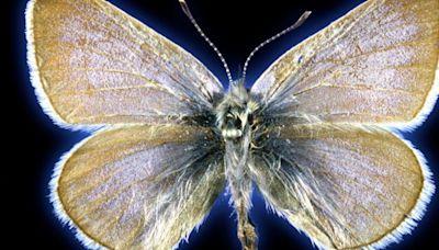 Este es el primer insecto extinguido por la mano del hombre, hace 93 años en EE.UU.