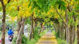 隱藏版嘉義秘境~嘉義六腳鄉阿勃勒黃金步道,盛開的黃金雨浪漫超好拍!