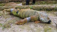 綠鬣蜥屏東肆虐 萬丹紅豆田遭殃