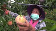 來呷水蜜桃! 武陵農場推團購 新竹尖石線上賣