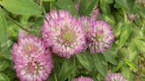 Unusual clover blossoms seen in Wilton