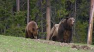 WY grizzly attack reiterates need for people to be bear aware