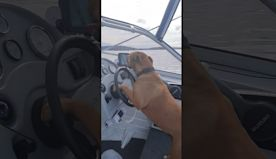 Dog Drives Boat