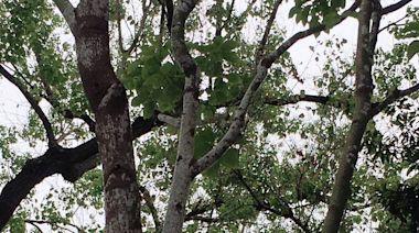 帶狀公園12樟樹感染介殼蟲 北市緊急噴藥搶救