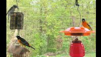 Birds from the Spring of 2019 - Baltimore Orioles, Grosbeaks and much more ! - 3/27/2020