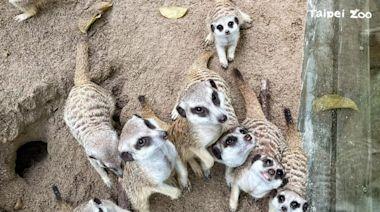 台北動物園:狐獴家族增產 悠閒玩沙不忘守望相助 | 台灣英文新聞 | 2021-07-23 12:25:04