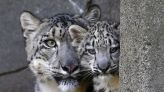 A San Diego Zoo snow leopard was coughing. A test showed he had covid-19.