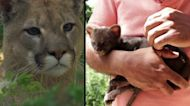 Colombian Farmer Rescues Kitten That Turns Out to Be a Baby Cougar