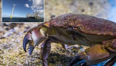 海底電纜對螃蟹產生「致命的吸引力」 有可能影響到漁業經濟 - Cool3c