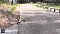 Baby Alligator Traverses South Carolina Road
