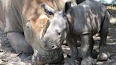 Rare baby rhino born at Florida's Lion Country Safari on World Rhino Day