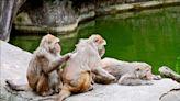 領導20年 北市動物園猴王「榮哥」離世