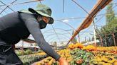 Lanzan a la venta 2.8 millones de cempasúchil en Xochimilco