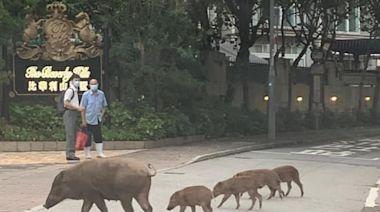網上熱話|野豬一家五口過馬路 步伐一致網民讚有愛 - 新聞 - am730