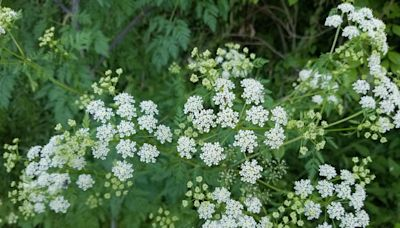 Toxic invasive poison hemlock is spreading into US parks and backyard gardens