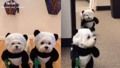 辦公室出現「迷你貓熊」! 白毛球兄弟融化84.4萬網友