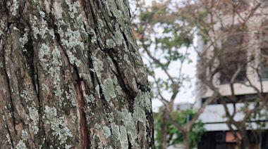 不只鳳梨有!天龍國鬧區也遭介殼蟲攻擊 北捷線形公園樟樹急噴藥 | 蘋果新聞網 | 蘋果日報